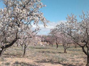 Almendros en flor. Primavera en el Bajo Aragón - Teruel.