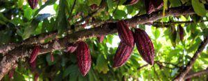 Árbol del cacao Chocolates Artesanos Isabel