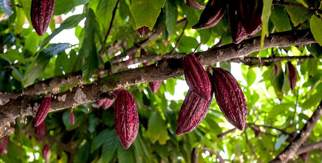 Chocolates Artesanos éticos de comercio justo